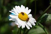Beetles on the camomile