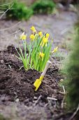 yellow narcissus and shovel on garden bed in spring day