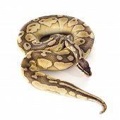 stock photo of pythons  - yellow Python regius in front of white background - JPG