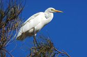 Close up of the Eastern Great Egret