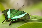 Green Peacock Swallowtail