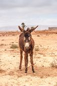 pic of wild donkey  - Brown donkey at field at summer - JPG