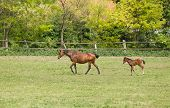 image of grassland  - Horse and foal walking on grassland on ranch on sunny spring day - JPG