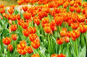 stock photo of orange blossom  - Orange tulips field blossomed in the spring - JPG