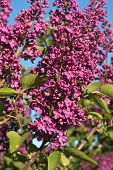 picture of lilac bush  - Bush of Lilac Flowers in Springtime Bloom - JPG