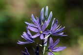 picture of small-flower  - Flowers of a Small Camas Flower  - JPG