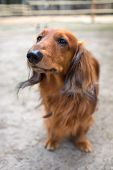stock photo of dachshund dog  - Beautiful brown dog breed dachshund standing on a sidewalk looking up - JPG