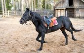 picture of stallion  - saddled black stallion racing on a training field with a blurred person on the background - JPG