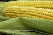 picture of corn stalk  - Large mature young corn on the wooden background - JPG