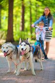stock photo of dog park  - Girl and little boy riding on scooter in team of two dogs in park - JPG