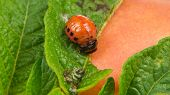 foto of potato bug  - A close - JPG