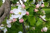 stock photo of apple tree  - Branch of a spring apple - JPG