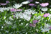 picture of daisy flower  - African daisy South African daisy Cape daisy  - JPG