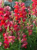 image of may-flower  - Red and pink snapdragon flowers Antirrhinum majus closeup in May - JPG