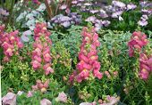 picture of may-flower  - Pink and yellow snapdragon flowers Antirrhinum majus closeup in May - JPG