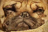 foto of puppy dog face  - Close up face of Cute pug puppy dog sleeping in sunshine - JPG