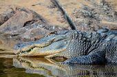 foto of crocodiles  - Big Brown and Yellow Amphibian Prehistoric Crocodile - JPG