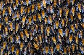 picture of swarm  - Close up on giant honey bee swarm hanging from tree branch - JPG