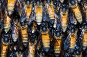 pic of swarm  - Close up on giant honey bee swarm hanging from tree branch - JPG