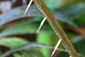 foto of tree snake  - Thorns of Zalacca with drop water - JPG