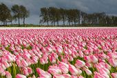 foto of sm  - Tulips in an agricultural farm land in the Dutch polder. the strong winds of a spring storm doing them all a stir direction. The storm clouds still hang over the landscape while the sun shines through the clouds ** Note: Visible grain at 100%, best at sm - JPG