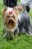 picture of yorkshire terrier  - A small gray black and tan Yorkshire Terrier dog standing on the grass,