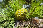 stock photo of pine cone  - Closeup of a unripe green pine cone in a tree - JPG