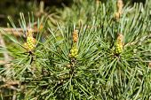 pic of pine cone  - Pine branches with male cones and pollen sacs - JPG