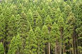 Постер, плакат: Japanese cedar forest