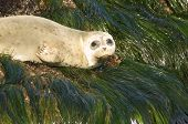 Harbor Seal On Green Algea Pct5577