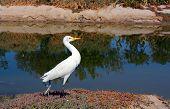 Un ibis a pie
