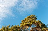 Green Pines And Blue Sky. Winter
