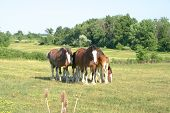 foto of clydesdale  - clydesdales breaking the hundle in a meadow  - JPG