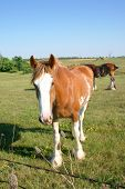 picture of clydesdale  - curious clydesdale looking at the camera in a meadow - JPG