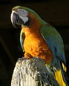 Orange And Green Parrot On A Stump