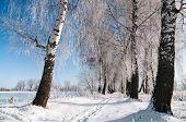 Snowy Birch Alley