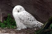 stock photo of hedwig  - Snowy owl sitting on the ground closed eyes - JPG