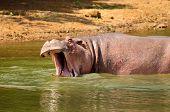 Hippo Grunting