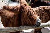 Rare Poitou Donkeys