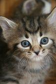 Cute Little Kitten With Blue Eyes poster