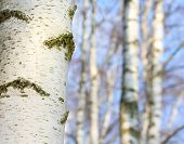 Birch forest. Betula pendula (Silver Birch) Birch resin is used in the pharmacy and cosmetics indust