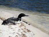Loon Resting On Beach, St Andrews Bay, Panama City Beach, Florida