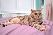 British Shorthair Cat Lies Outstretched On A Lilac Blanket, Close-up poster