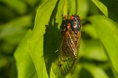 Red Eyed Seventeen Year Cicada