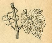 Vine twig with tendrils - old illustration by unknown artist from Podrecznik do nauki Botaniki, auth