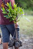 man carrying young mangrove tree for reforestation, Satun, Thailand