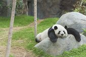 Adorable Giant Panda Bear Sleeping In Zoo poster