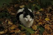 Stray Tuxedo Cat In The Forest. Animals, Autumn, Pets Concept. Cute Young Cat Outdoors. poster