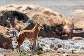Ethiopian Wolf, Canis Simensis, Ethiopia poster