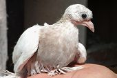 foto of pigeon loft  - Dove nestling white sitting on hand little - JPG
